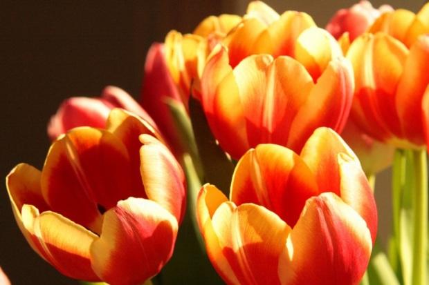 Tulpen_Farbe